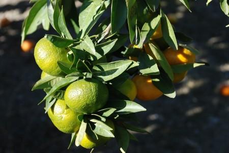 Appelsineksport vært viktigste næring her før turismen overtok.